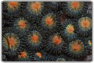 Assorted range Mouth Zoanthids